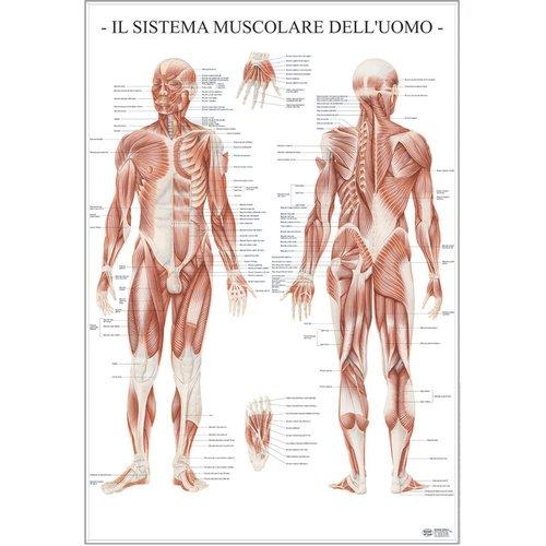 Foto Poster Scientifico Belletti Sistema muscolare dell'uomo Poster scientifici
